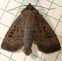 344 Graphiphora augar - Brocade Moth 10928 - Graphiphora augur