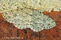 Moth - Ectropis crepuscularia
