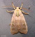 Banded Tussock Moth - Halysidota