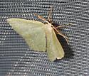 Fulsome emerald (Chloropteryx paularia) - Chloropteryx paularia - male