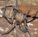 Spider - Callobius - male