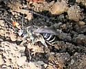 Ground nesting bee -Melissodes paroselae - Nomia - female