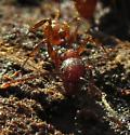 Ants in rotting wood - Aphaenogaster fulva