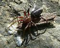 Ant Spider - Castianeira longipalpa