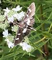 Daytime moth - Desmia