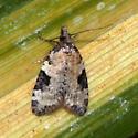Moth, Anopina triangulana? - Anopina triangulana