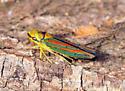 Graphocephala picta? - Graphocephala picta