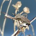 Acanthocephala femorata ? - Acanthocephala femorata