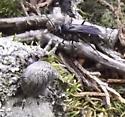 Wasp with captured spider - Episyron