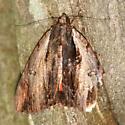 Ultronia Underwing Moth - 8857 - Dorsal - Catocala ultronia