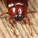 May Beetle - Phyllophaga anxia - male