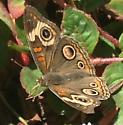Winchester Mystery House Butterfly - Junonia coenia
