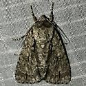 Acronicta hasta - female