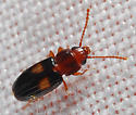 BioBlitz Bug 109 - Laemophloeus fasciatus - female