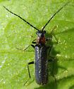 Soldier beetle - Rhagonycha