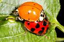 the beetles are back - Harmonia axyridis