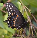Papilio polyxenes (black swallowtail)  - Papilio polyxenes