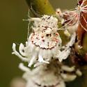 Coccoidea - Icerya purchasi
