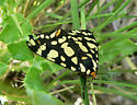 Ranchman's Tiger Moth? - Arctia virginalis