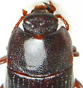 W118 - Eutochia crenata