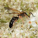 Wasp - Tachytes distinctus - female