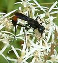 Ammophila sp. - Ammophila nigricans