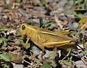 Two-Striped Grasshopper - Melanoplus bivittatus - female