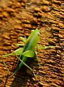 Meadow Katydid nymph - Orchelimum - female