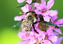 Bee - Bombus rufocinctus - male
