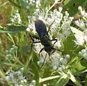 black wasp - Sphex pensylvanicus