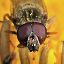 Syrphid - Cheilosia - male