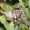 moth - Litocala sexsignata