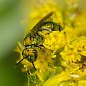 Halictidae? - Augochlora pura