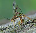 Megarhyssa macrurus - female