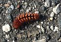 Caterpillar on beach walk