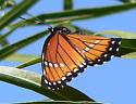 Arizona Viceroy (Limenitis archippus obsoleta) - Limenitis archippus