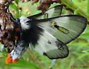 Buck Moth? - Hemileuca lucina