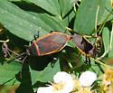 Boxy Love - Largus succinctus - male - female