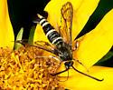 Moth - wasp mimic - Carmenta giliae