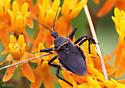bug - Apiomerus crassipes