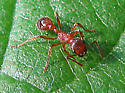 European imported fire ant  - Myrmica rubra