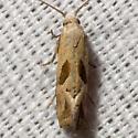 Two-spotted Carolella Moth - Hodges #3783 - Eugnosta bimaculana
