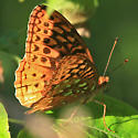 Fritillary   - Speyeria cybele - male