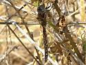 Dragonfly - Rhionaeschna californica - female