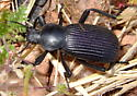 What kind of beetle is this? - Eleodes obscurus