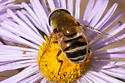 Syrphid fly - Eristalis stipator