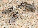 Ablautus mimus - Ablautus - male - female