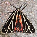 Harnessed Tiger Moth - Hodges#8169 - Apantesis phalerata