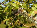 California Spreadwing  Archilestes californica - Archilestes californica