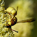 Eumenid, golden - Euodynerus auranus - male